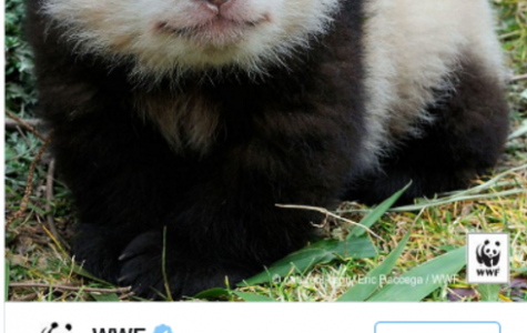 Hope for the Giant Pandas