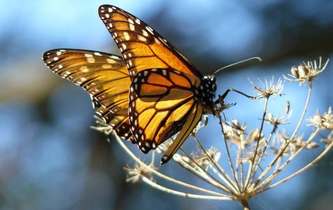 Monarch Butterflies in Pismo Beach
