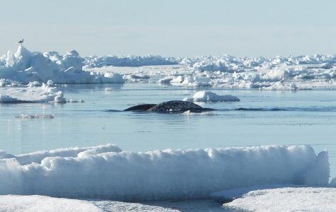 Narwhals Are Helping Modern Scientists