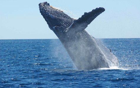 Japan's Whaling Ban